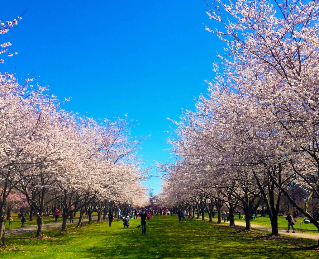 Join us for a free Cherry Blossom bike ride! Thumbnail