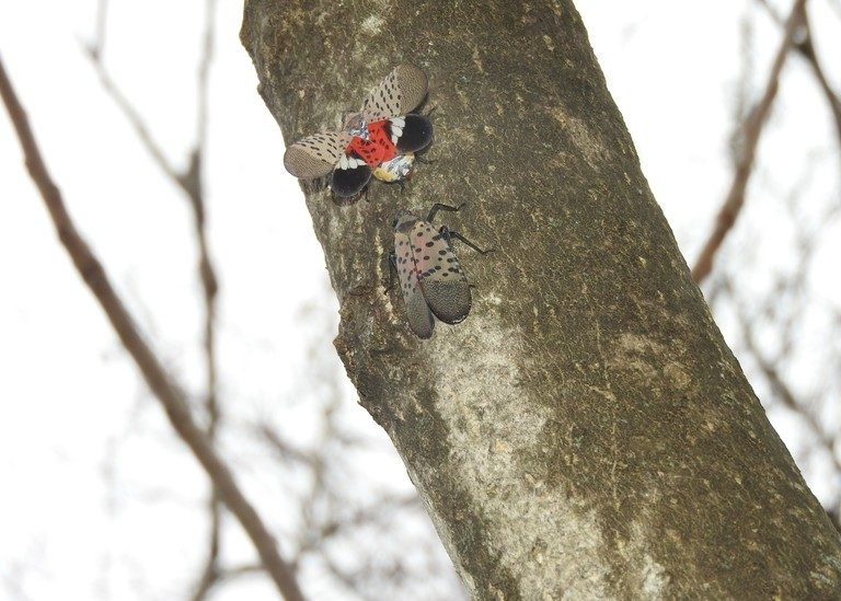 How Philly's parks are managing the Spotted Lanternfly Thumbnail