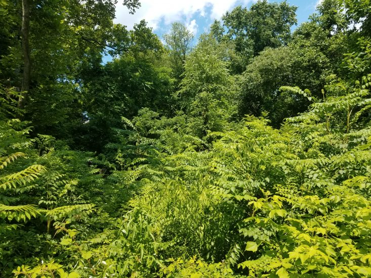 Green invasive vines overtake a forest.